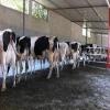 1. sınıf damızlık gebe düveler ve buzağılı inekler