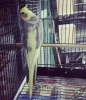 2016 tkf bilezıklı yavru sultan papaganları
