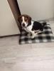 3 aylık beagle