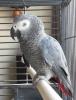 3 yaşında mükemmel eğitimli papağan