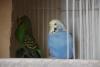 4 çift + 1 erkek muhabbet kuşu sultan papağanına takas olur