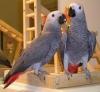 Afrika gri papağanlar çok tame