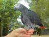 Afrika gri papağanlar :: robyroseria001@gmail.com