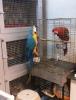 Ara macaw ve scarlet kapalı bilezik yavrular