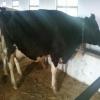 süt inekleri ve gebe düveler
