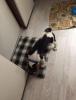Beagle 3aylık