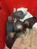 Bebek jakolar kırmızı kuyruk kapalı bilezik