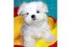 Beyaz malta köpekleri