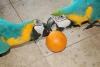 Canlı papağan ve yumurta satılık