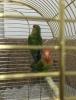 Cennet papağanı çift eşli