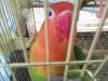 Cennet papağanı çifti + kafes satılık