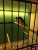 Çift goldian finch
