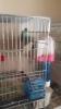 Ctn muhabbet kuşu üretimi