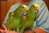 Erkek ve dişi cockatoos amerika afrika gri papağanı amazon p