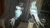 Eş mavi mutasyon pakistan papağanı çifti