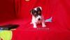 Ev ortamından jack russell terrier yavrusu sahibinden