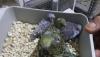 Ev üretimi yavru muhabbet kuşu het renk bulunur