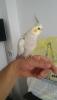 Evcil sultan papağanı