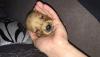 Golden yavru köpek
