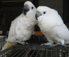 Güzel erkek ve kadın şemsiye kakadular kuşlar