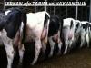Harika süt inekleri gebe düve