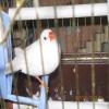 hint bülbülleri damızlık ve golden finch ile muhabbet kuşu