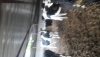 Kırşehir de satılık hosltein süt inekleri