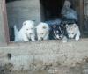 Satılık dişi husky sibirya kurdu yavruları