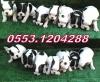 İzmirde french bulldog yavrular