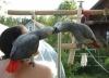 Kırmızı kuyruk kongo jako yavrular