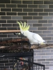 Kokteyl, macaw, afrikalı gri papağanlar ve verimli parrot yu