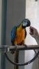 Konuşan 3 yaş mavi sarı ara papağanı