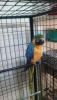 Makav ara papağanı