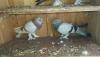 Mavi ve şekeri güvercinler