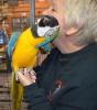 Mevcut şimdi mavi ve altın amerika papağanı