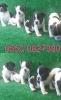 Mükemmel french bulldog izmir