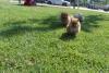 Pomeranian boo yavrularımız