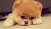 Pomeranik köpek yavruları