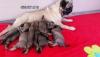 Pug mops yavruları aşılı ev ortamından