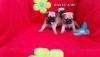 Pug mops yavruları evde doğup büyüyen sahibinden