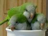 Quaker keşiş papağanı