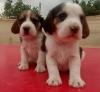 Safkan satılık beagle yavruları