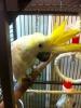 Satılık güzel cockatoo papağanlar