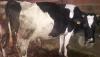 Satılık montofon inek
