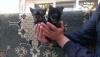 Satılık ithal yorkshire terrier yavruları