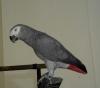 Jako papağan erkek 2 yaşında