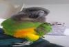 satılık yavru senegal papağanı
