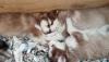 Satılık sibirya kurdu ( husky ) yavruları