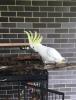 Şemsiye cockatoo male süper dost, w / kafes ve aksesuarlar
