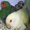 Sevda papağanı yavruları